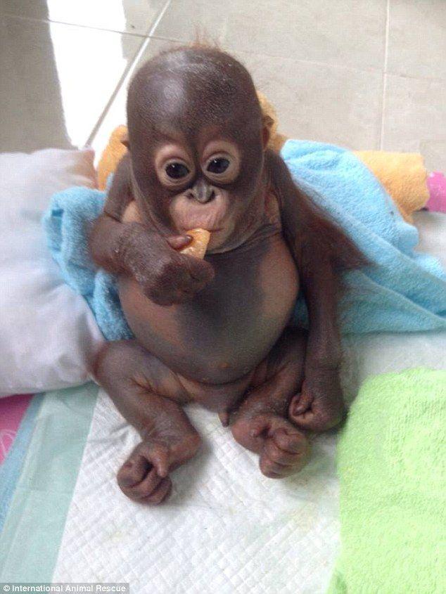 Comer muito: Fed durante dez meses para o leite condensado, o orangotango pequeno tinha perdido o uso do músculo de suas mandíbulas, mas agora está começando a se alimentar