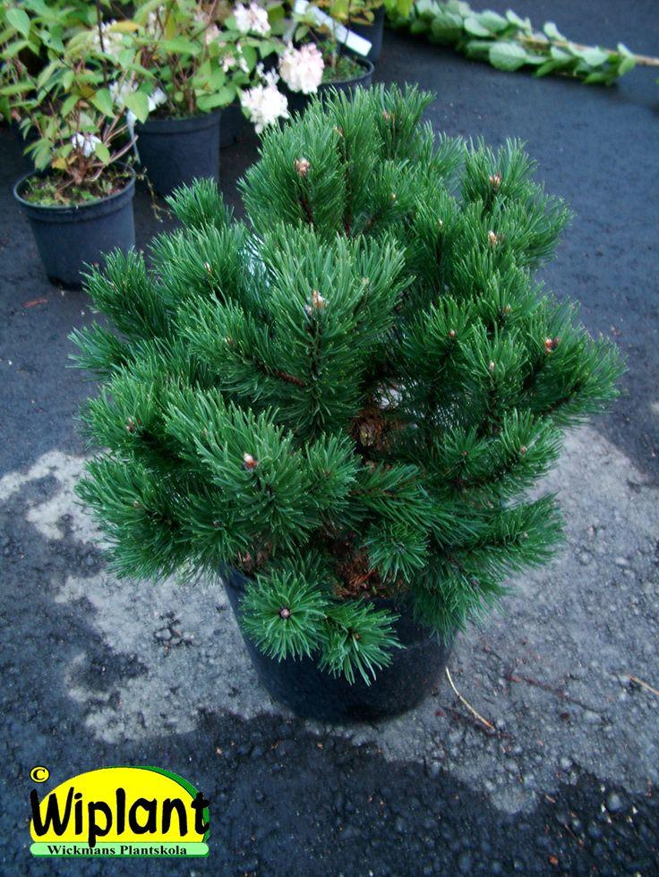 Pinus mugo 'Gnom', Dvärgbergtall. Tät bredpyramidial förädlad form.  Höjd: 1,5-1,8 m.  Relativ snabbväxande.  Zon VI.