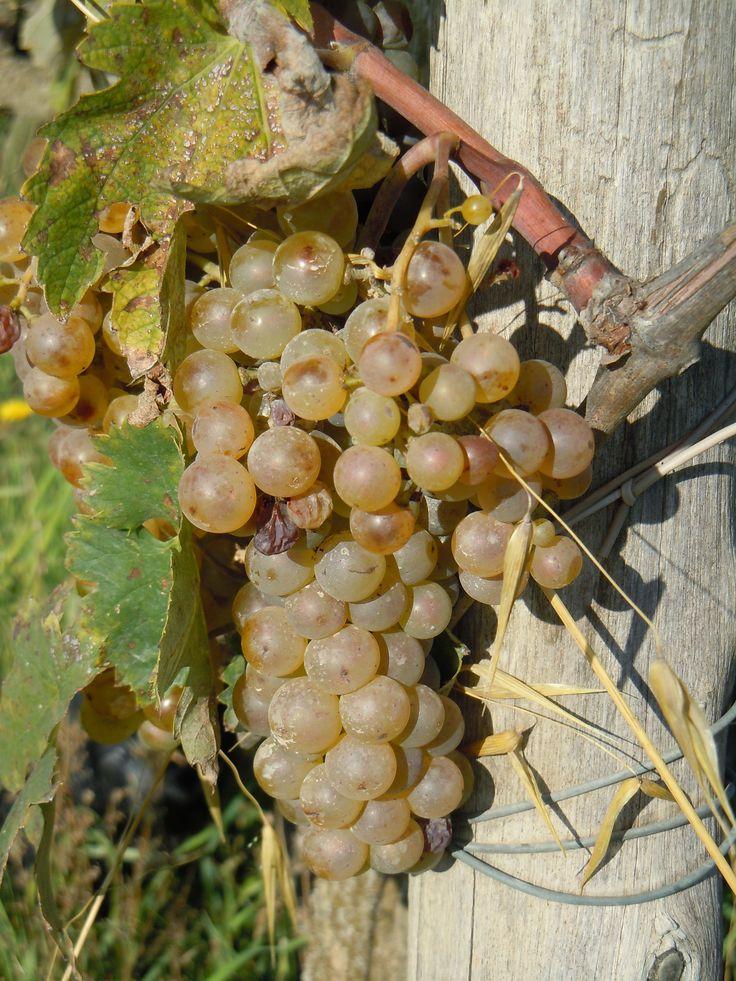 white grapes growing near our B Fagiolari