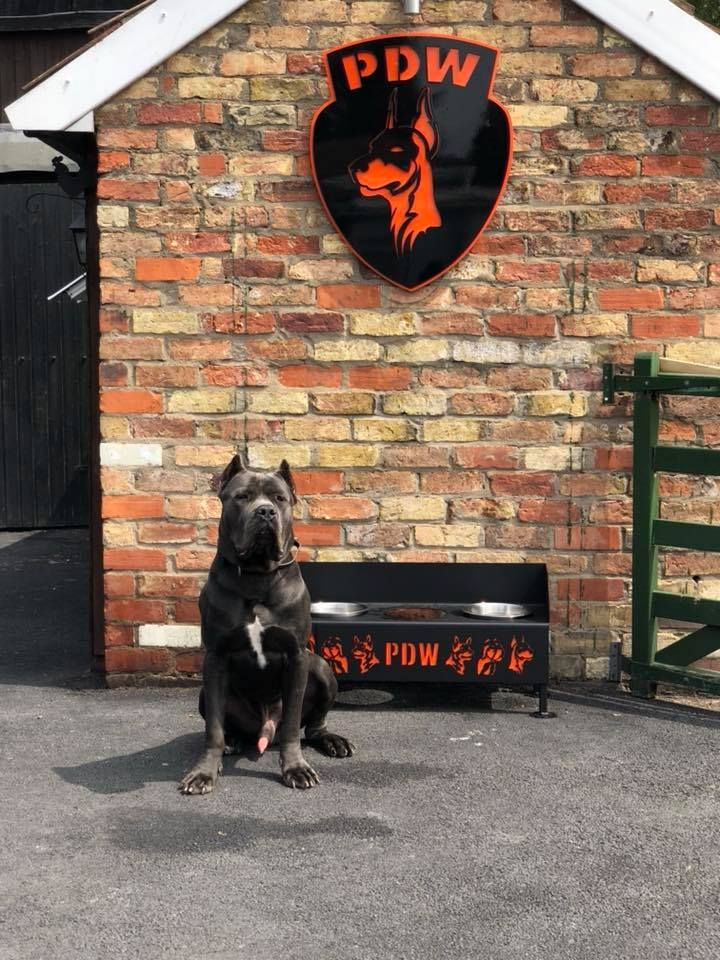 Lax Staying With Us For 6 Weeks Training What A Pleasure To Have Him Back At Ours 13 Months Old C Dogs For Sale Uk Family Protection Dogs Cane Corso