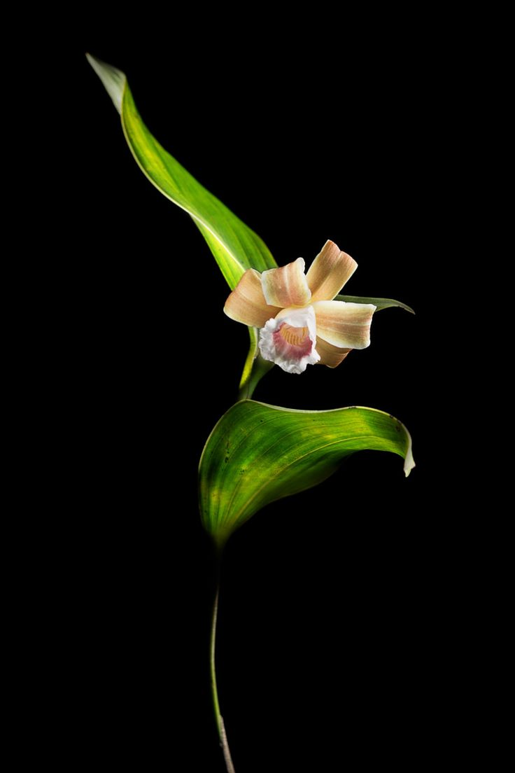 Photograph Sobralia atropubescens by Shannon Heng on 500px
