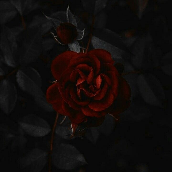 Pin By Aulia Amalla On D D Characters Dark Red Roses Aesthetic Roses Dark Aesthetic Dark red rose aesthetic wallpaper