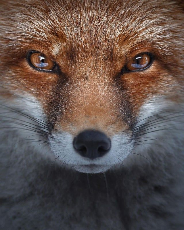 Daily Fox 102 Incredible Close Up Foxes Fox Species Fox Fox Painting