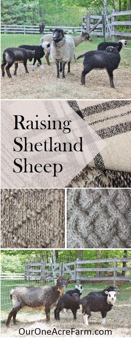 Raising Shetland Sheep is a guide to getting started with this easy care, small breed, great source of fiber, meat, and milk. Breed profile, what you need, feeding, lambing, general health maintenance, protection from predators, and making money. Fleeces come in a wide range of natural colors and are popular among hand spinners. Meat is delicate in flavor; milking is possible.