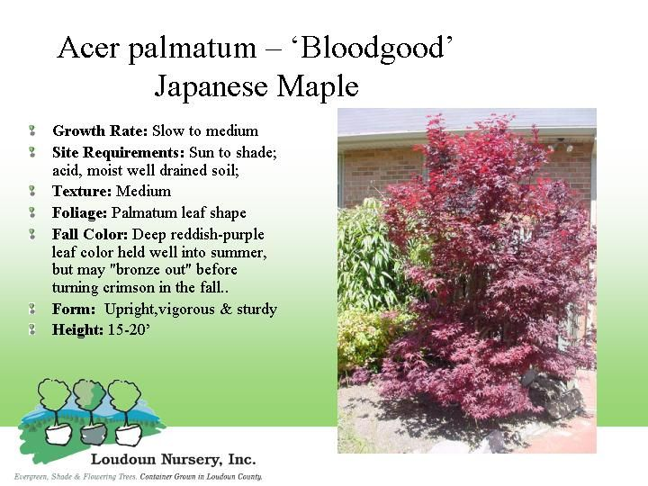 japanese maple bloodgoodjpg 720215540 projects by tina