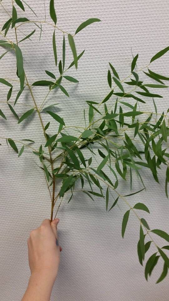 Eucalyptus Nicoly