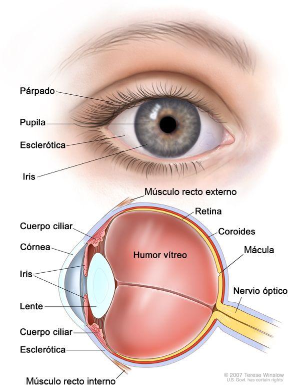 Ms de 25 ideas increbles sobre Las partes del ojo en Pinterest