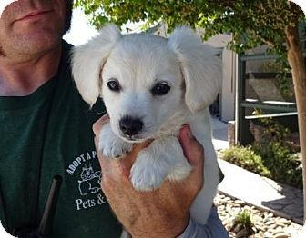 Lathrop, CA - Dachshund/Pomeranian Mix. Meet Klondike, a puppy for adoption…