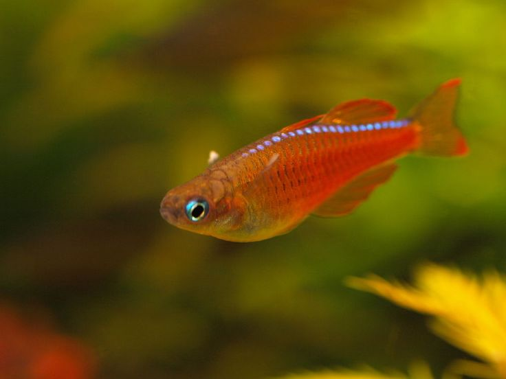 Pseudomugil paskai pseudomugil sp 39 red neon 39 very for Finned fish allergy