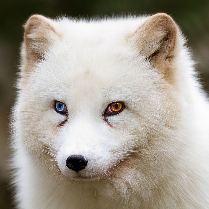 Arctix Fox Heterochromia is a genetic trait that, depending on the creature it happens in, can be due to inbreeding, genetic inheritance or mutation. In some breeds of cats, like the Turkish Angora, heterochromia is a desirable trait that breeders try to maintain.