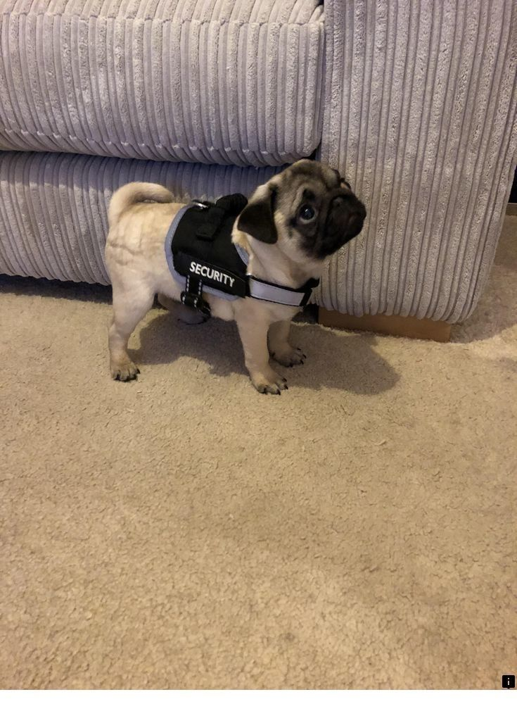 Just Click The Link For More Info Cheap Pugs For Sale Near Me