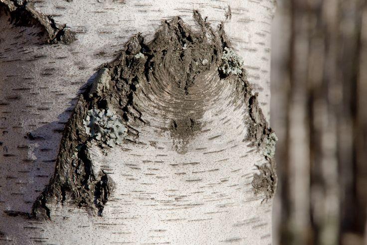 birch_bark
