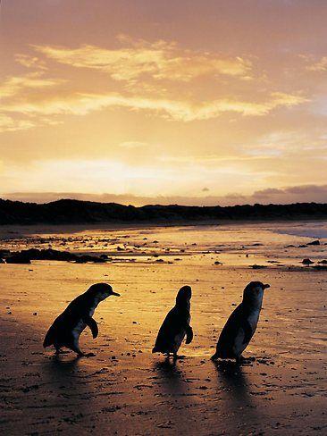 Kangaroo Island sunset with fairy penguins, South Australia