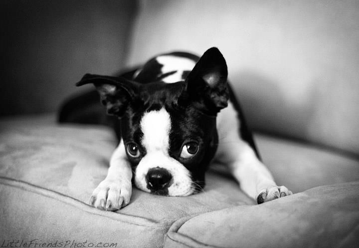 Baby Boston Terrier Puppy laying down on the couch. Photo by Seth ...