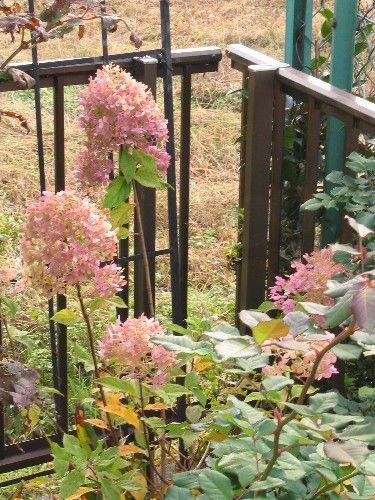 季節の中で・・・ [花々]ノリウツギ ライムライト☆