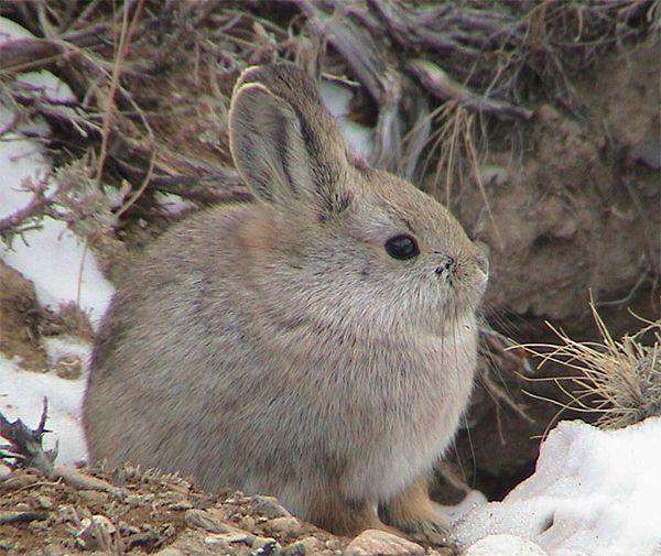 Pygmy-Rabbit - stho fayat!