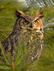 Alberta provincial bird the Great Horned Owl