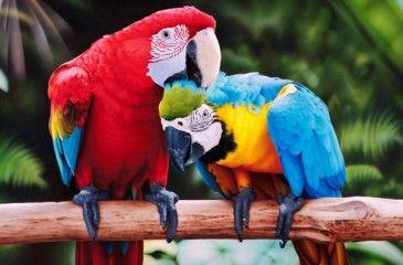 Как выглядит попугай Ара - виды, расцветки, уход и содержание в домашних условиях