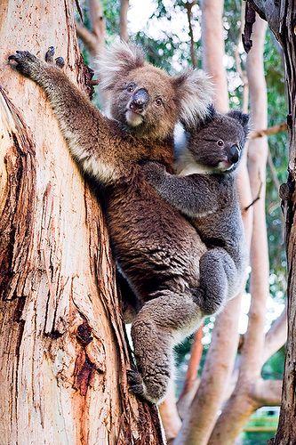 Koalas - Kangaroo Island, South Australia...°