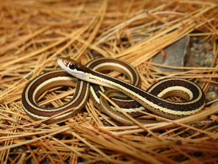 Image detail for -Eastern Ribbon Snake (Thamnophis sauritus) - ReptileBuzz