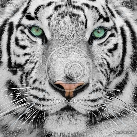 Biały tygrys, tygrys syberyjski     nr1819767