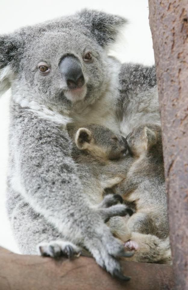 Best 25 Koalas Ideas On Pinterest Cute Koala Bear Baby