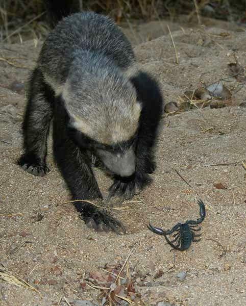 animais quase extintos e o animal mais destemido do mundo: ratel