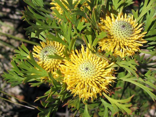 Image result for Isopogon anemonifolius