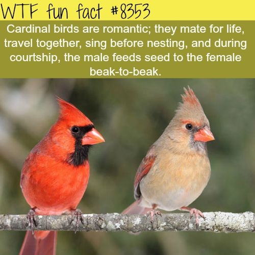 Cardinal birds  WTF fun facts