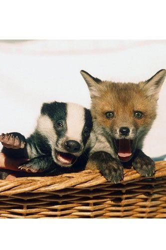 After being treated at a wildlife hospital, this baby badger and fox cub became the firmest of friends. <3