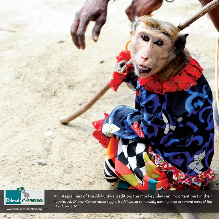 An integral part of the Ahikuntika tradition, the monkey plays an important part of their lielihood. Dilmah Conservation supports the Ahikuntika community development in several parts of the island.