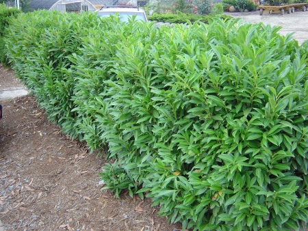 "Schip laurel, Prunus laurocerasus ""Schipkaensis"" go deeper in this link to screening evergreens & cryptomerias"