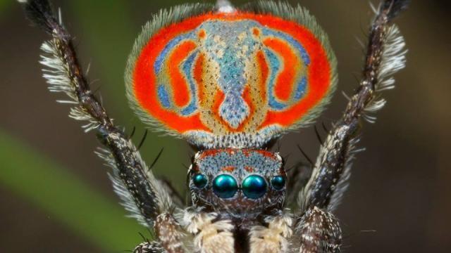 Nieuwe spinnensoort met kleurrijk 'masker' ontdekt in Australië . pauwenspin