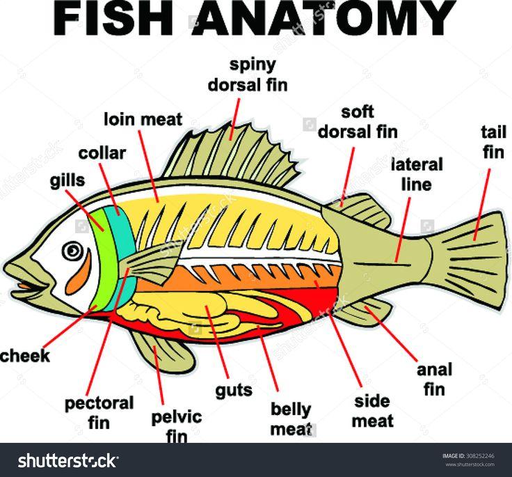 Anatomy of fish gills