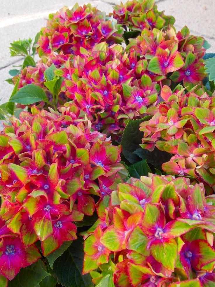 Hydrangea Glam Rock. - Gardening Gazebo