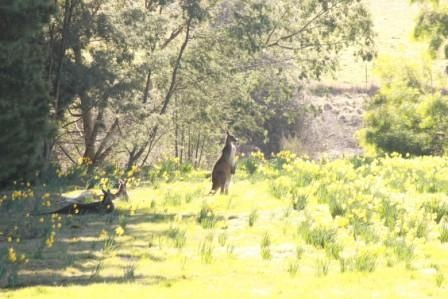I was trying to get shots of the daffodils for some time before I actually noticed the kangaroos in there!