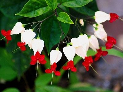 I live too far north to grow these, they are called bag flowers or tropical bleeding hearts. they vine