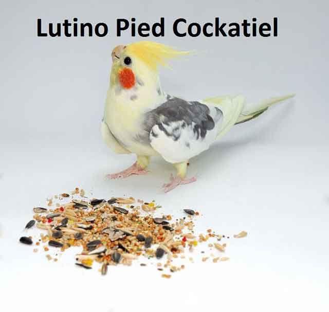 Lutino Pied Cockatiel Lifespan Breeding Food Care Cockatiel Pet Birds Common Birds