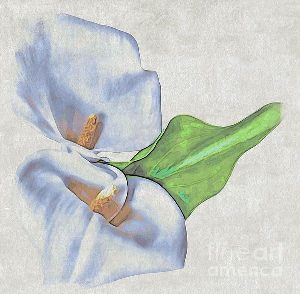Calla LilyCalla Lily is a lily by common name only, although like lilies its white variety has long been associated with the Virgin Mary, and the chastity she embodies. Contrary to this the Romans saw the Calla, with its notably phallic pistil, as a symbol of lust and sexuality. Both these ideals come together with the Calla's tradition of being a wedding flower, representing the idealised virginity of the bride in white and her expectations in her fertile future.  www.macsnapshot.com