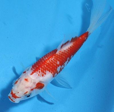 RARE Kanoko Pattern Sarasa Comet Goldfish | Goldfish ...