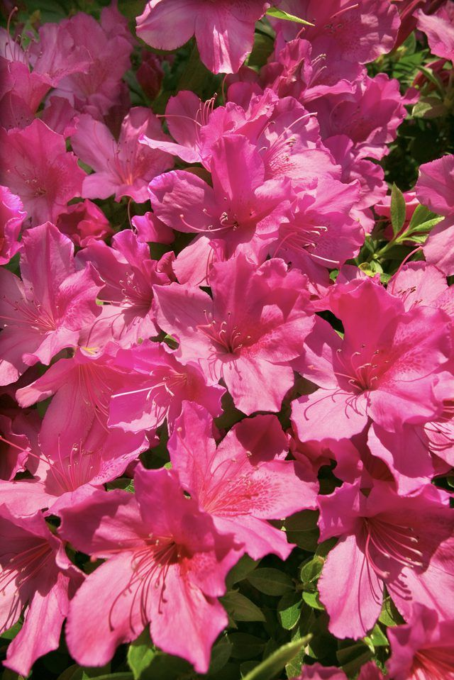 How To Dig Up Old Azalea Bushes Ehow Hybrid Tea Roses Azalea Flower Azalea Bush