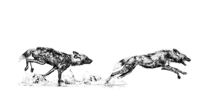 Wild dogs playing in water. B&W print by wildlife photographer Dave Hamman in the Okavango delta.
