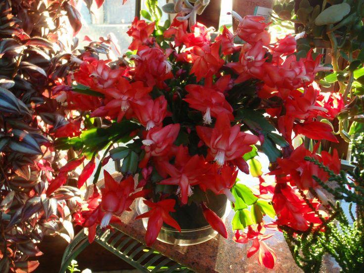 do christmas cactus like full sun