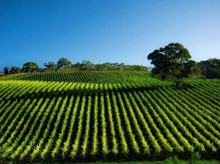 Beautiful Vineyard Landscape, Adelaide http://www.genders.com.au/