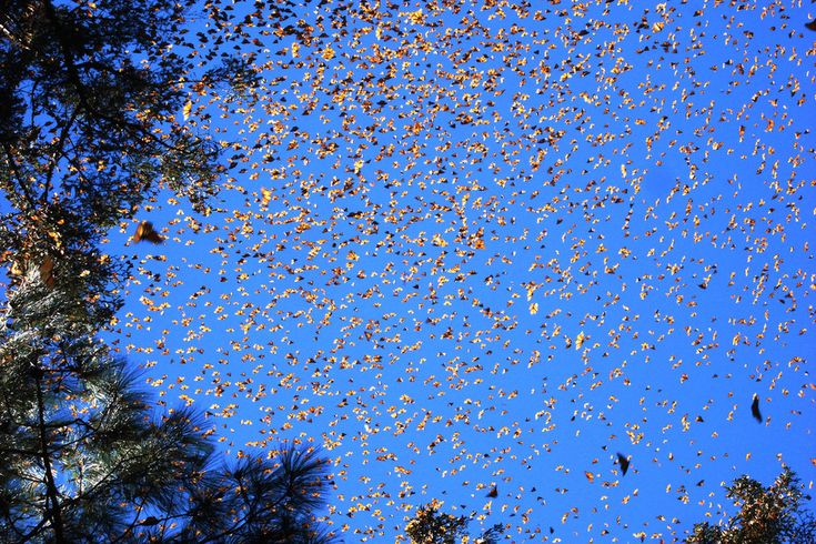 Monarch butterflies: The eastern North American population is notable for its southward late summer/autumn migration from the USA and Canada to Mexico, covering thousands of kilometers. | 30 Natural Phenomena You Won't Believe Actually Exist