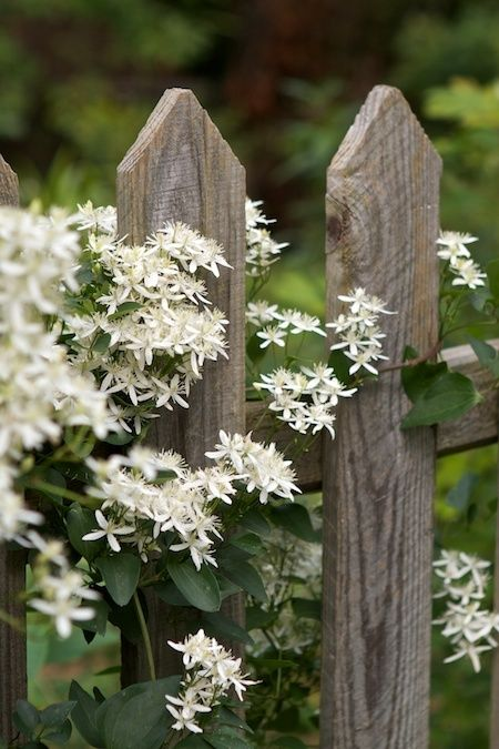 Sweet Autumn Clematis....the scent is heavenly & gentle as summer winds down... a last kiss of summer before fall's trumpeted arrival