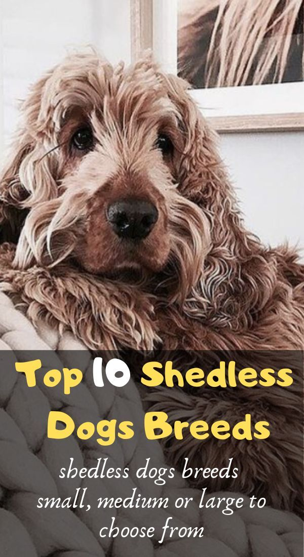 Top 10 Dog Breeds That Don T Shed Cute Dogs That Dont Shed Dog Breeds That Dont Shed Dog Breeds Medium Dog Breeds
