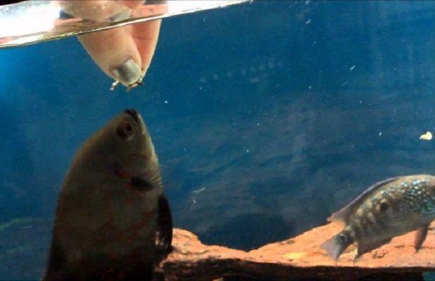Bir Akvaryum Köpeği Gibi Davranan Astronot Balığı Hakkında 8 Sevimli Bilgi