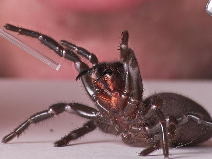 A Sydney Funnel Web Spider about to strike.
