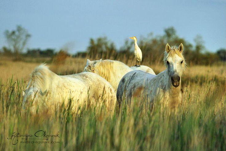 dzikie konie | Dzikie konie Camargue - tigra949